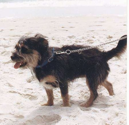 P.J. the Terrier/Schnauzer mix, with its mouth open and tongue out, walks around the beach