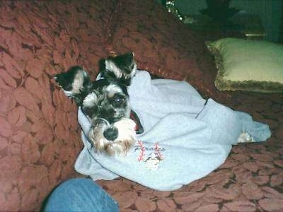 Oliver Ruben the Miniature Schnauzer wrapped in a baby blue blanket on a couch