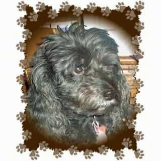 Close Up head shot - A black Miniature Poodle is sitting in a room in front of a rocking chair. Around the Dog image is a frame that is brown and has paw prints around it.