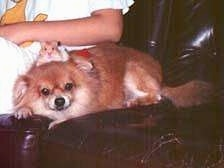 Shelley the Pomeranian laying next to a person on a leather couch