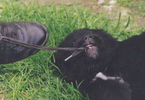 A small black with white newfoundland puppy is laying on its side outside in a yard biting a persons shoe string
