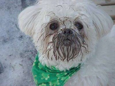 Close up head shot of a long, wavy coated white dog wearing a green bandanna with mud all over the front of its face. It is outside in snow.