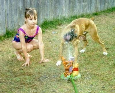 A tan with white Boxer is biting water coming out of a Winnie the Pooh water sprinkler. There is a girl in a bathing suit next to the dog watching this occur.