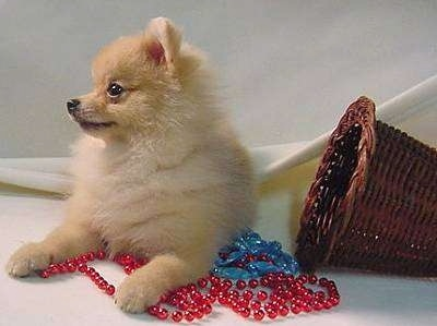 Front view - A tan Pomeranian puppy is laying on a backdrop and on top of red and blue beads. There is a wicker basket to the right of it. The dog is looking to the left