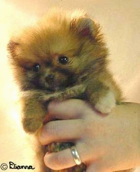 Close up - A tiny fluffy tan with black Pomeranian puppy is being held in the air by a persons hand. The dog looks like a stuffed toy.