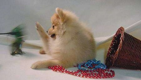A tan Pomeranian puppy is laying on a backdrop and it is looking to the left and pawing at a feather on a stick being pushed towards it. There is a fallen over wicker basket to the right of it and red and blue beads under it.