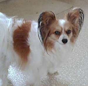Side view - A white with red and black Papillon is walking across a tan kitchen floor looking up at the camera.
