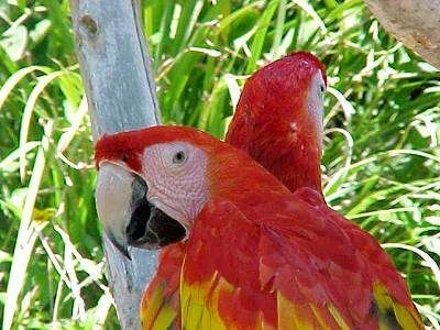 Close up head shots - Two red with yello and blue Parrots are standing in a tree.