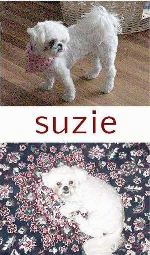 Top picture side view of a wavy coated shaved white toy breed dog standing on a hardwood floor with its fluffy tail curled up over its back. Bottom picture is of the same dog layig down on a blue and red patterned blanket looking up. In the middle of the two pictures is the name Suzie in red letters.
