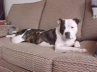 couch potato! He is a Bulldog mix—maybe Pit Bull / English Bulldog ...