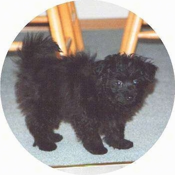 A fluffy black Pomapoo puppy is standing on a carpet and it is looking forward. There are wooden stools behind it.