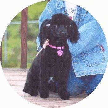 A small breed, black Pomapoo dog is sitting on a porch and there is a person in a jean jacket behind it.