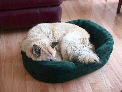 A perk-eared, tan with white dog is sleeping in a circle in a gree dog bed.