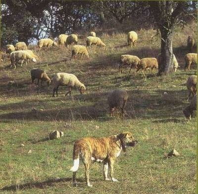 The back of a brindle Rafeiro do Alentejo dog that is standing at the bottom of a hill. The hill has a bunch of sheep on.