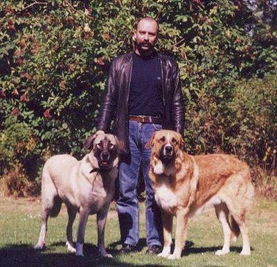 A man in a  black leather jacket is standing in between two extra large Rafeiro do Alentejo dogs in grass looking forward.