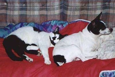 A white with black cat is laying against the back of a white with black Rat Terrier that is looking to the right. They are laying on a red blanket on a brown plaid couch.