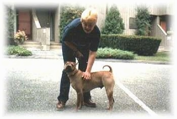 The left side of a brown Chinese Shar-Pei that is standing across a blacktop surface. Behind it a person is bending over a touching its side. The dog's tail is curled up over its back.