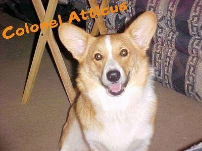 A tan and white Corgi is sitting on a carpet, it is looking forward, its mouth is open and it looks like it is smiling. The words Colonel Atticus are overlayed. The dog has big perk ears and round eyes.