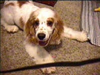 A white with brown Cocker Spaniel is laying out on a carpeted surface, its head is turned to the left, but it is looking forward. Its mouth is open and it looks like it is smiling.