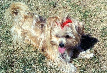 Top down view of a long coated, tan with white Yorkie that is laying on grass. It is wearing a red ribbon, it is looking forward, its mouth is open and its tongue is out.
