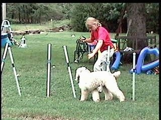 The left side of a white Standard Poodle dog weaving through obstacles on an agilty field. It is being led by a lady in a red shirt.
