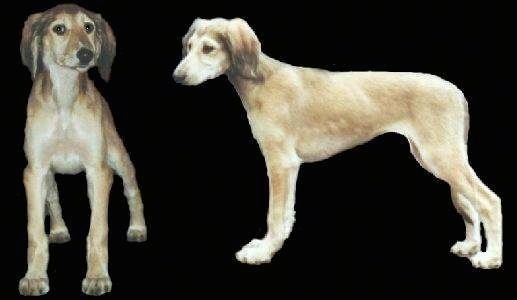 Two cut put images of a Saluki puppy that are composited onto a black layer. One is the front view of a Saluki and the other is of its left profile.