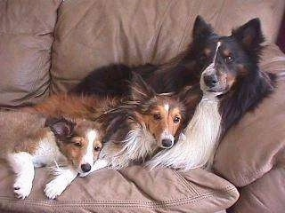 A black and white with brown Shetland Sheepdog is laying against the back of a tan couch and laying in front of it is two sable Shetland Sheepdog puppies.
