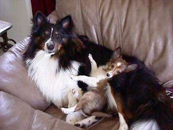 A black and white with brown Shetland Sheepdog is laying against the back of a couch and laying on top of it is a sable Shetland Sheepdog puppy.