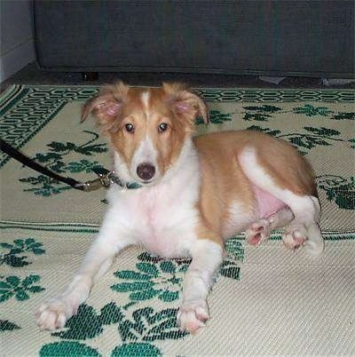 Front side view - A shorthaired tan and white Shetland Sheepdog puppy is laying on a rug and it is looking forward.