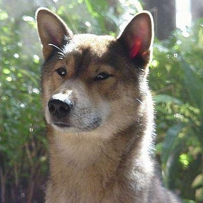 Shikoku Dog Breed Information And Pictures