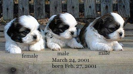 Three young black and white Shih-Tzu puppies are laying on a wooden bench and they are looking to the right. The words - female male male March 24, 2001 February 27, 2001 - are overlayed at the bottom of the image.