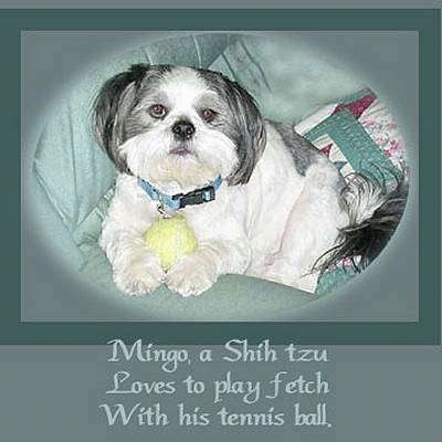 Close up front side view - A white with tan and black Shih-Tzu is laying on a couch and it has a tennis ball in between its front paws. The image has a green border around it and the words - Mingo, a Shih tzu Loves to play fetch With his tennis ball. - is overlayed at the bottom middle.