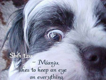 Close up - A quarter of a white with grey and black Shih-Tzus face of one eye and half of its nose. The words - Shih Tzu ~ Mianju, likes to keep an eye on everything. - are overlayed at the bottom of the image.