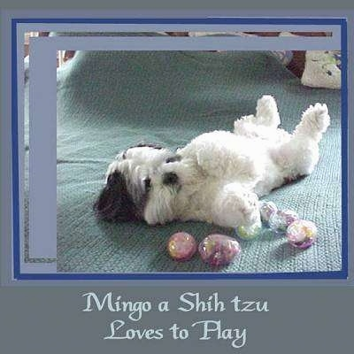 A black and white Shih-Tzu is laying on its back belly up, preparing to roll and it is surronded by plastic eggs. There is a blueish grey border around the image and the words - Mingo a Shih tzu Loves to Play - is overlayed in the bottom middle of an image.