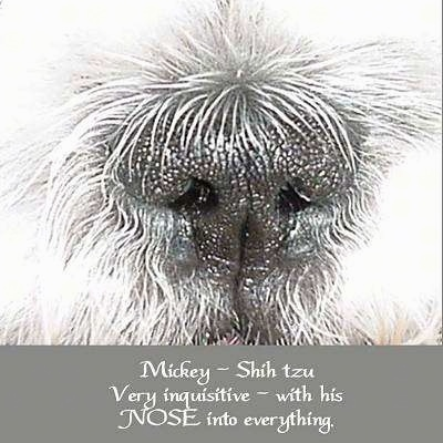 Close up - The nose of a white Shih-Tzu, there is a grey border at the bottom of the image and the words - Mickey ~ Shih zu Very inquisitive ~ with his NOSE into everything. - are overlayed in the bottom middle of the image.