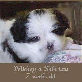 Close up head shot - A short haired white and black Shih-Tzu puppy is laying across the back of a couch and it is looking forward, there is a brown border on the bottom of the image and the words - Mickey, a Shih tzu 7 weeks old - are overlayed in the bottom middle of the image.