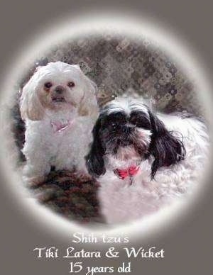 Close up front view - Two Shih-Tzus are sitting on a couch and they are looking forward. There is a grey to white gradient vignette is around the image and the words - Shih tzus Tiki Lanrara and Wicket 15 years old - are overlayed in the bottom middle of the image.