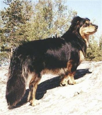 The back right side of a black with tan Small Greek Domestic Dog that is standing on a hill and it is looking to the right. It has a long thick coat with thicker hair on its long tail that is hanging down low.