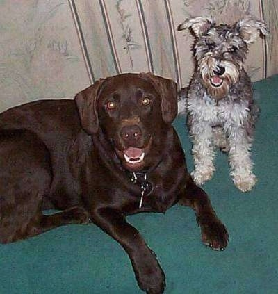A Chocolate Labrador is laying on a carpet and sitting to the right of it is a gray Miniature Schnauzer dog. Both of there mouths are open and it looks like they both are smiling.