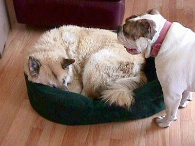 A tan with white dog is laying down in a green dog bed and standing overtop of him is Spike the Bulldog, his mouth is open and its tongue is sticking out.