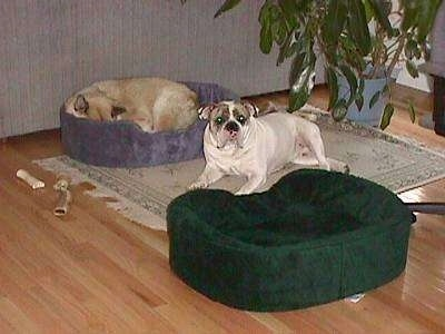 A tan with white dog is sleeping in a blue dog bed on top of a rug and laying next to him on top of the rug is Spike the Bulldog. There is an empty green dog bed in front of him.