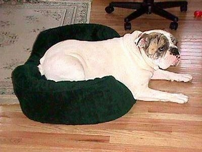 The right side of Spike the Bulldog who is laying across a green dog bed and he is looking to the right.