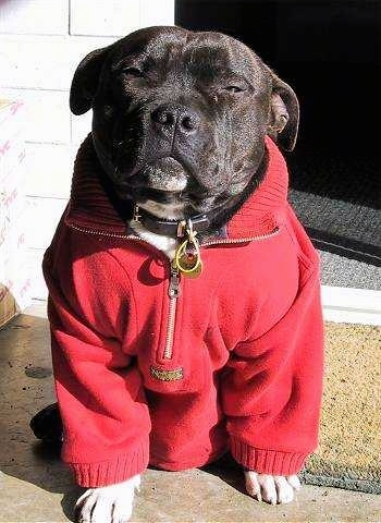 Close up - A black with white Staffordshire Bull Terrier dog wearing a red pullover fleece, it is sitting on a stone porch, it is looking forward and it is squinting in the sun.