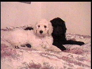 A white Standard Poodle dog laying against a black Standard Poodle and they are laying across a human's bed. They both are looking forward.