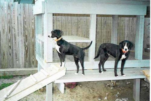 There are two black with white Stephens Stock Mountain Curs dogs standing on an elevated Coop.