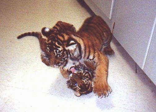 Two Tiger Cubs playing with each other on top of a tiled floor.
