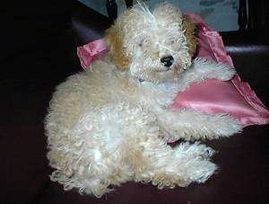 The back right side of a tan with white Toy Poodle dog laying on a shiny pink pillow. The dog has a black nose and hair that covers up its eyes.