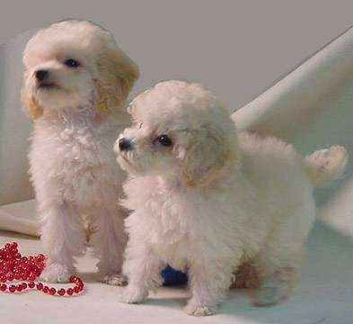 Two small soft-looking, fluffy, tan Toy Poodle puppies standing across a white floor and they are looking to the left. There is a red beaded necklace to the left of them. The dogs eyes are dark and their noses are black.