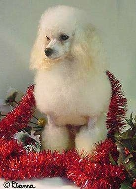 A fluffy tan Toy Poodle is sitting in front of a tan backdrop, around it is a red lei, it is looking down and to the left. It has long soft ears that hang down to the sides and a black nose.
