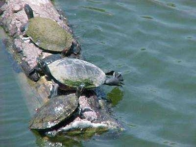 Three Turtles are laying on top of a log  that is floating in a body of water.